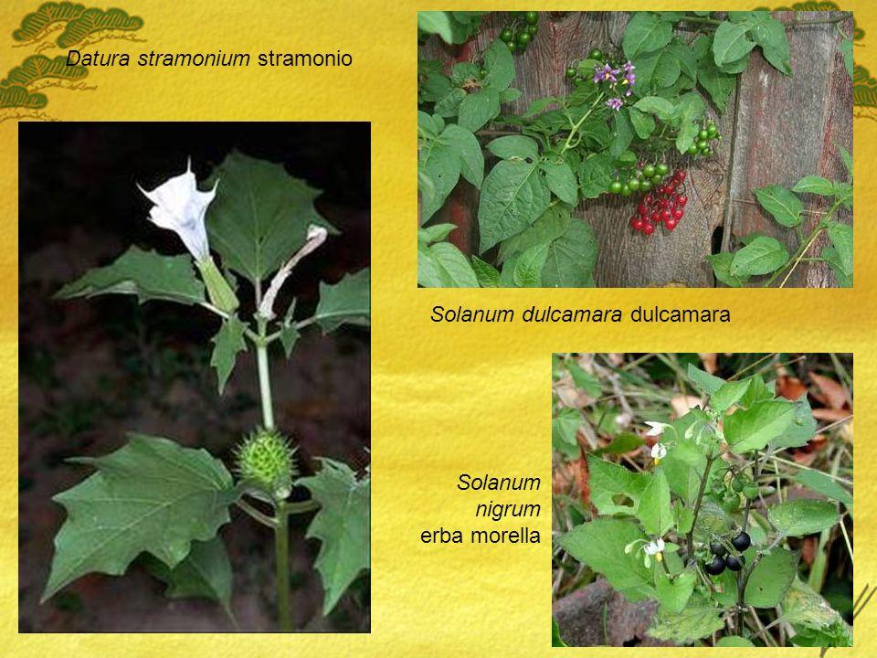 Datura stramonium stramonio Solanum dulcamara dulcamara Solanum nigrum erba morella