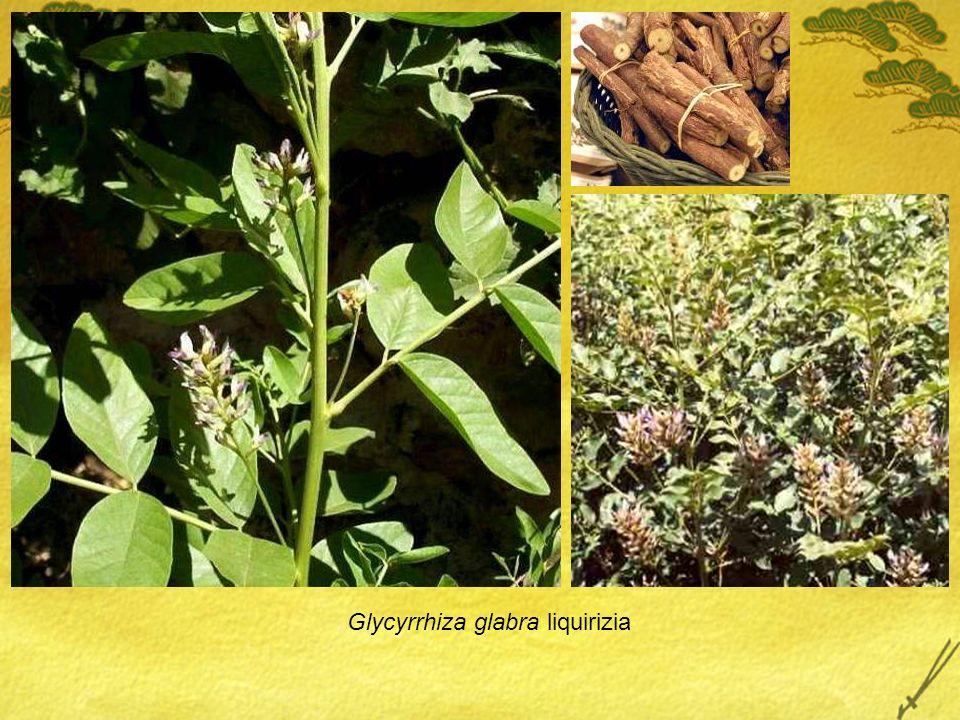 Glycyrrhiza glabra liquirizia