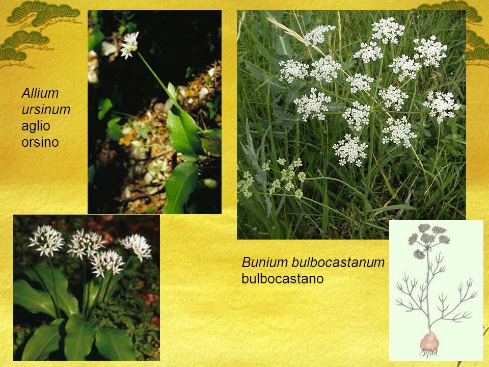 Allium ursinum aglio orsino Bunium bulbocastanum bulbocastano