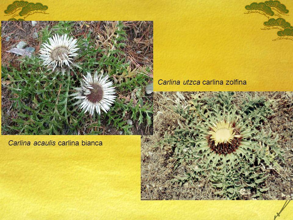 Carlina acaulis carlina bianca Carlina utzca carlina zolfina