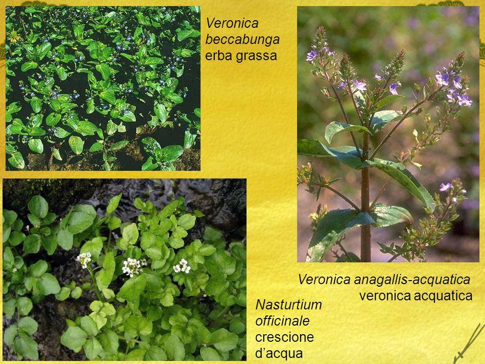 Veronica anagallis-acquatica veronica acquatica Veronica beccabunga erba grassa Nasturtium officinale crescione dacqua