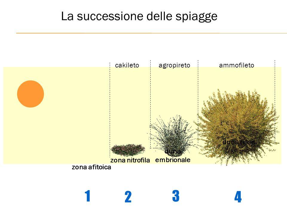 zona afitoica duna embrionale duna fissa agropiretocakiletoammofileto zona nitrofila 1234 La successione delle spiagge