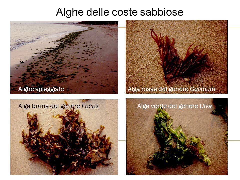 Alghe delle coste sabbiose Alghe spiaggiate Alga bruna del genere FucusAlga verde del genere Ulva Alga rossa del genere Gelidium