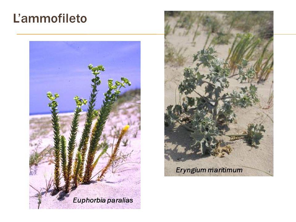 Lammofileto Euphorbia paralias Eryngium maritimum