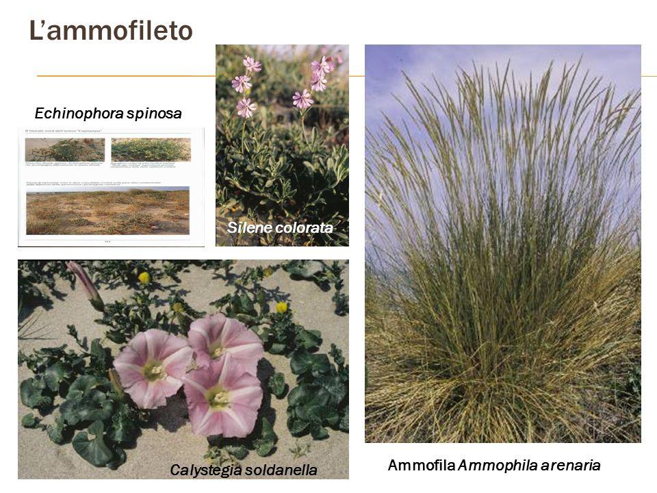 Calystegia soldanella Ammofila Ammophila arenaria Silene colorata Echinophora spinosa