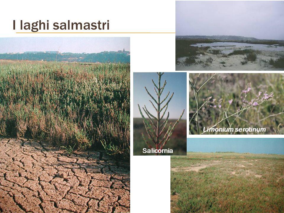 I laghi salmastri Salicornia Limonium serotinum