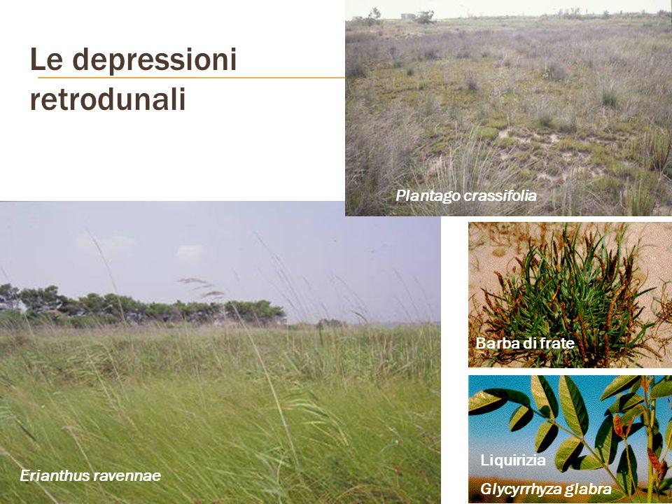 Le depressioni retrodunali Erianthus ravennae Plantago crassifolia Barba di frate Liquirizia Glycyrrhyza glabra