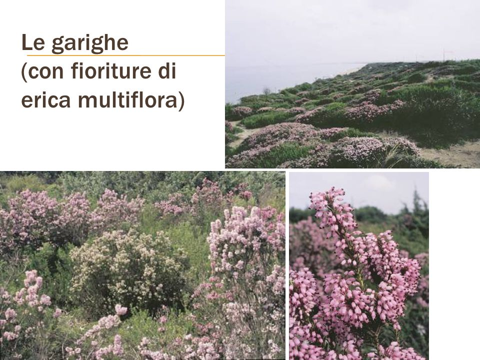 Le garighe (con fioriture di erica multiflora)
