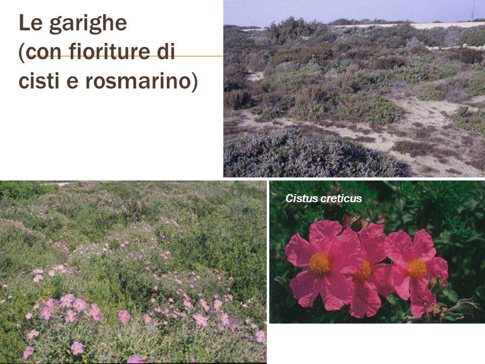 Le garighe (con fioriture di cisti e rosmarino) Cistus creticus