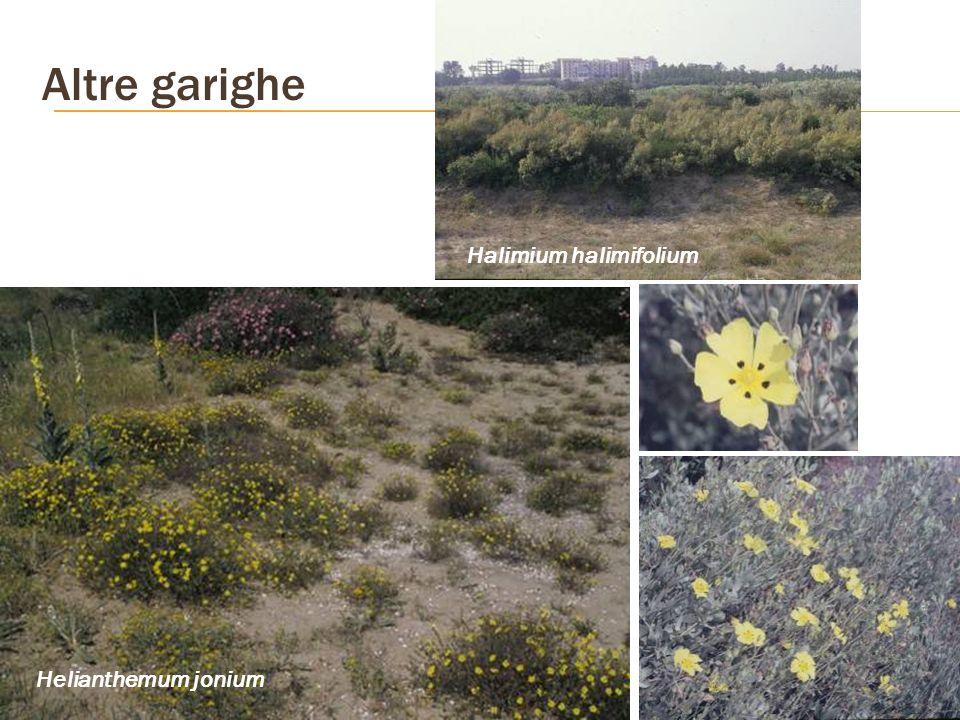 Altre garighe Halimium halimifolium Helianthemum jonium