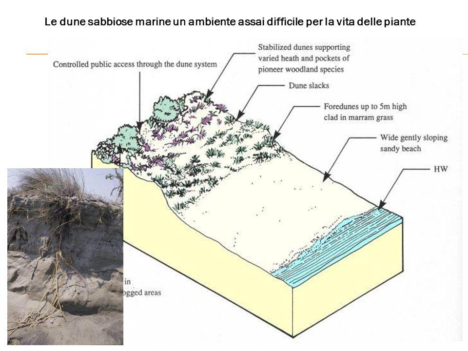 Le dune sabbiose marine un ambiente assai difficile per la vita delle piante