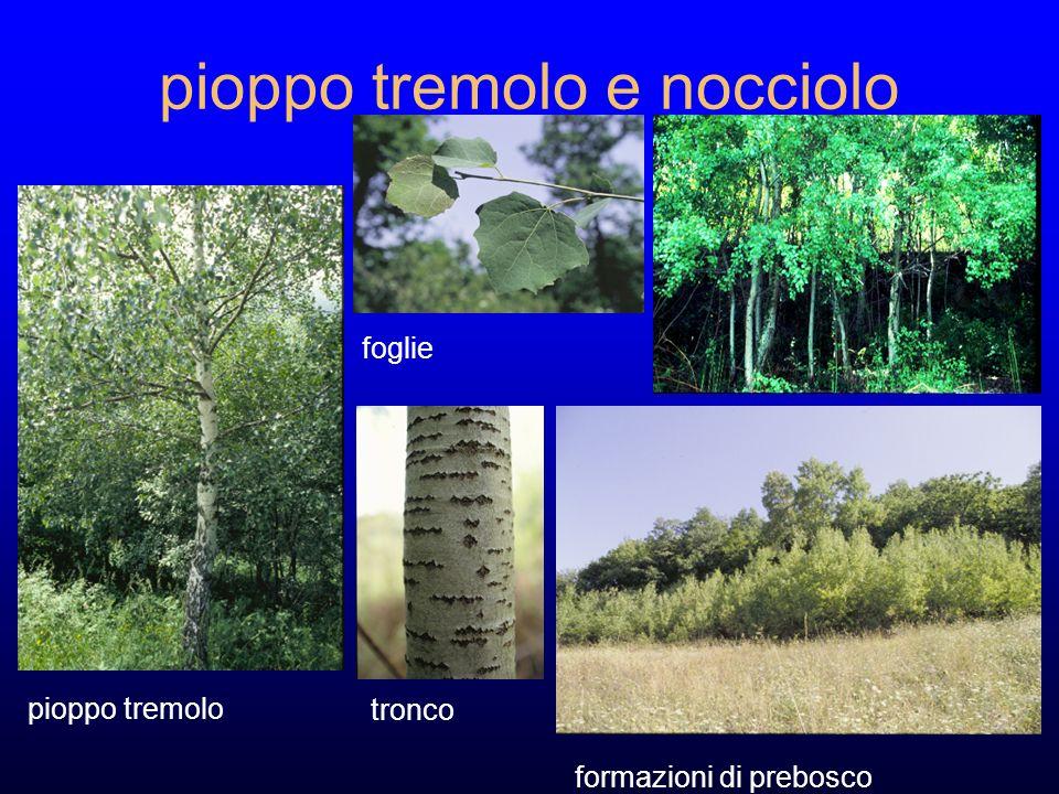 pioppo tremolo e nocciolo tronco foglie formazioni di prebosco pioppo tremolo
