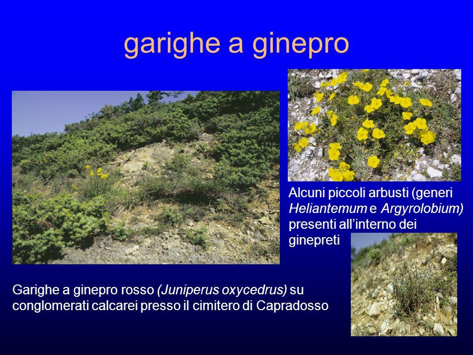 garighe a ginepro Garighe a ginepro rosso (Juniperus oxycedrus) su conglomerati calcarei presso il cimitero di Capradosso Alcuni piccoli arbusti (generi Heliantemum e Argyrolobium) presenti allinterno dei ginepreti