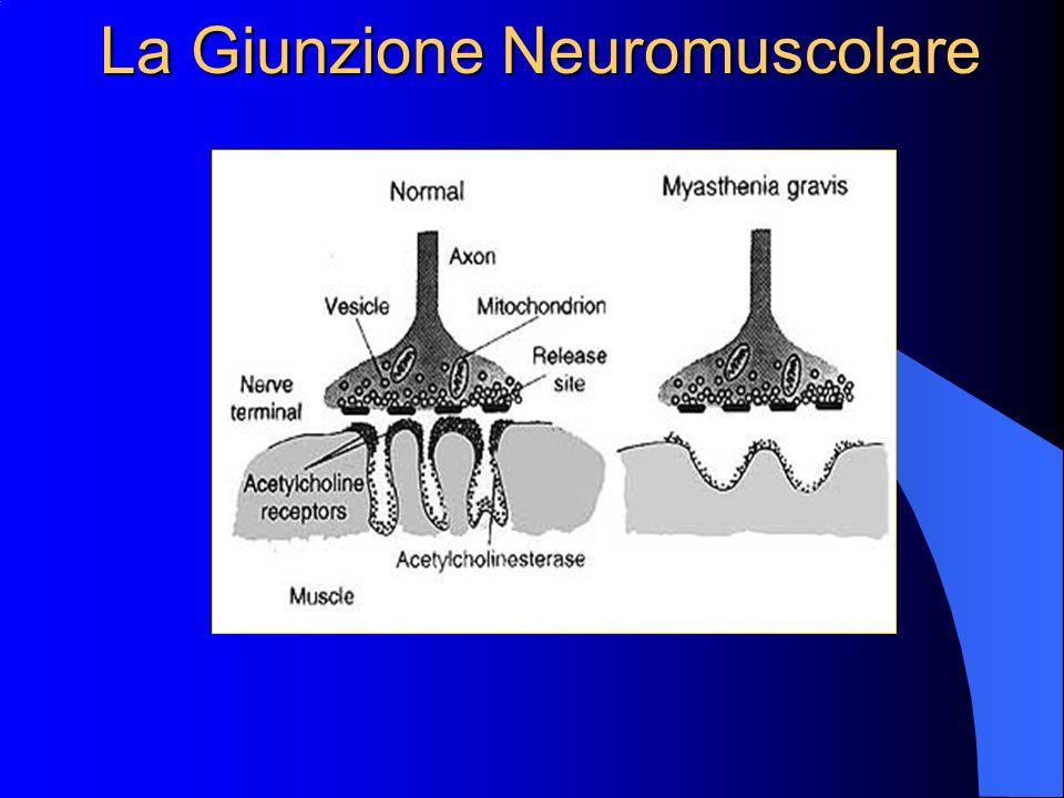 Miastenia Gravis Fisiopatologia, diagnosi clinica e terapia Maria Leone Maria Leone Specializzanda in Neurologia Università degli Studi di Modena e Re