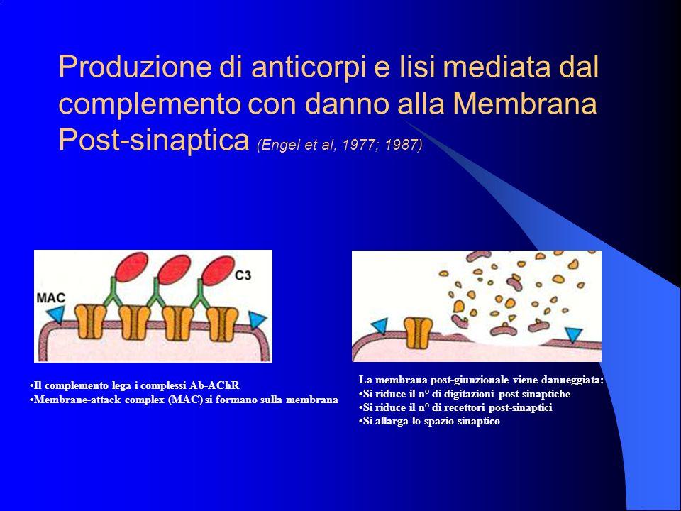 Anticorpi anti-AChR (Drachman 1994) Gli anticorpi anti-AChR possono essere individuati nel sangue della maggior parte dei pazienti con MG. Questi anti