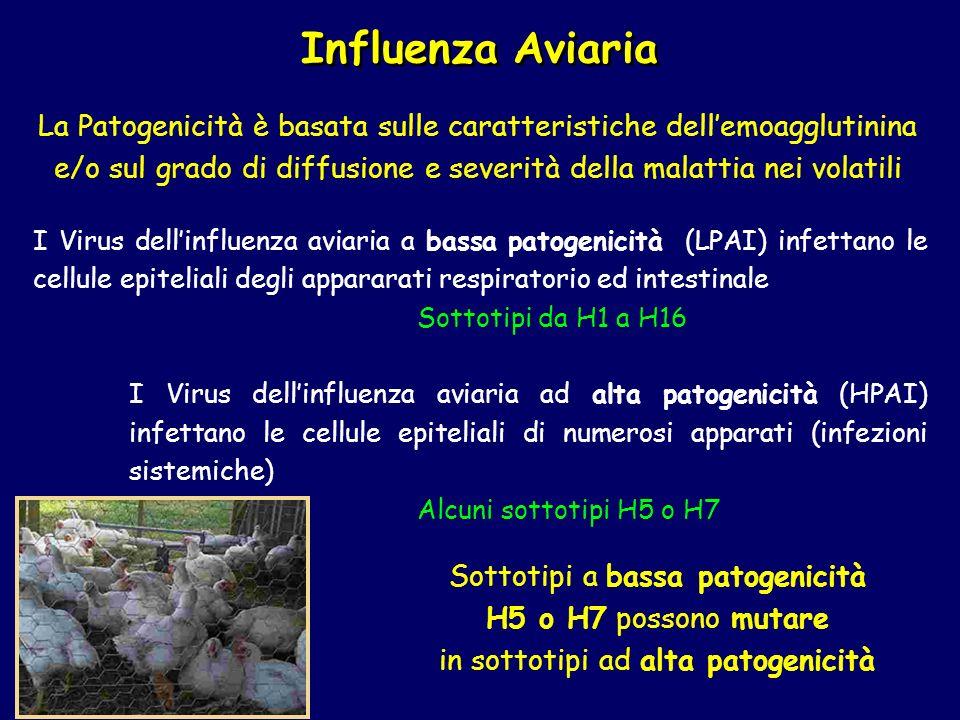 Influenza Aviaria La Patogenicità è basata sulle caratteristiche dellemoagglutinina e/o sul grado di diffusione e severità della malattia nei volatili