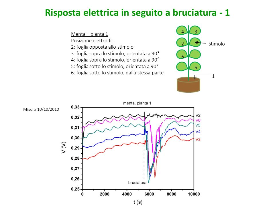 Misura 11/10/2010 Risposta elettrica in seguito a bruciatura - 2 Menta – pianta 1 Posizione elettrodi: 2: foglia opposta allo stimolo 3: foglia sopra lo stimolo, orientata a 90° 4: foglia sopra lo stimolo, orientata a 90° 5: foglia sotto lo stimolo, orientata a 90° 6: foglia sotto lo stimolo, dalla stessa parte 1 5 6 4 2 3 stimolo