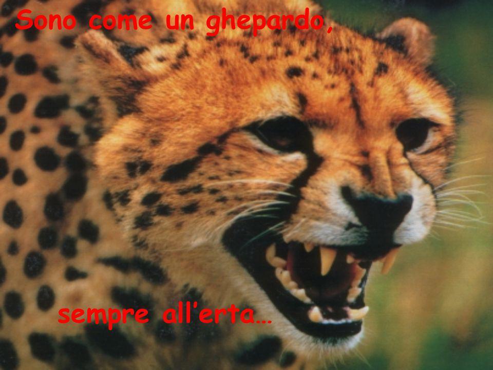 Sono come un ghepardo, sempre allerta…