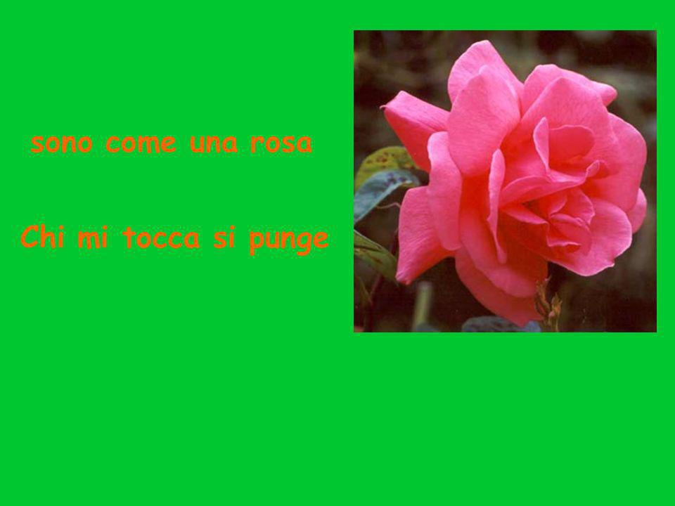 sono come una rosa Chi mi tocca si punge