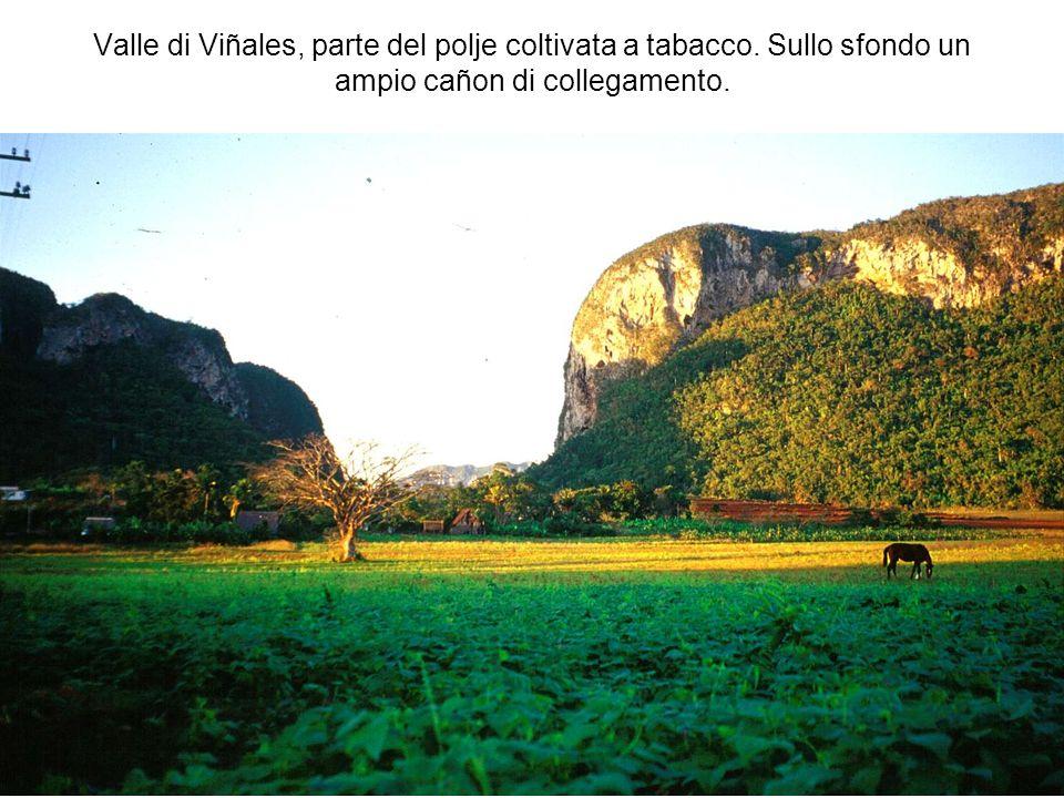 Valle di Viñales, parte del polje coltivata a tabacco. Sullo sfondo un ampio cañon di collegamento.