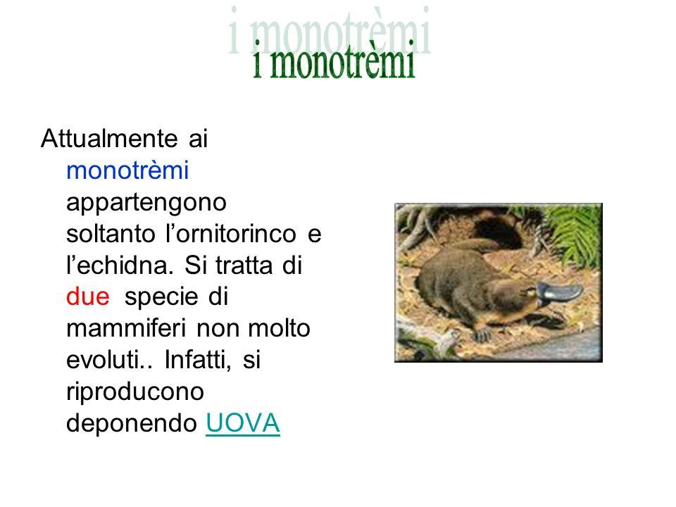 Attualmente ai monotrèmi appartengono soltanto lornitorinco e lechidna. Si tratta di due specie di mammiferi non molto evoluti.. Infatti, si riproduco