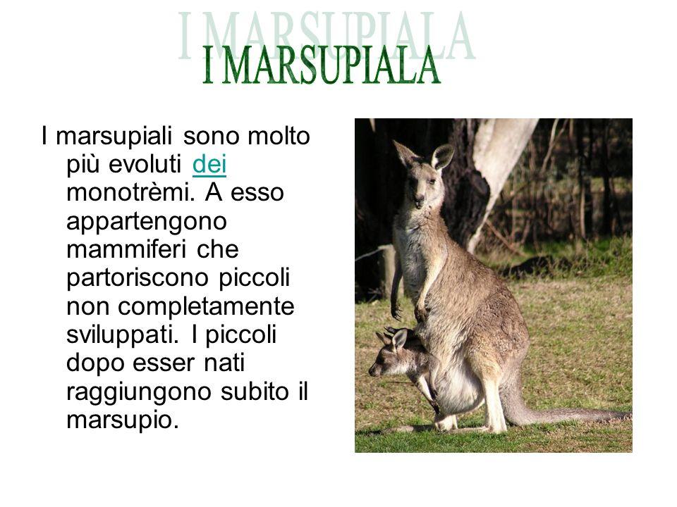 I marsupiali sono molto più evoluti dei monotrèmi. A esso appartengono mammiferi che partoriscono piccoli non completamente sviluppati. I piccoli dopo