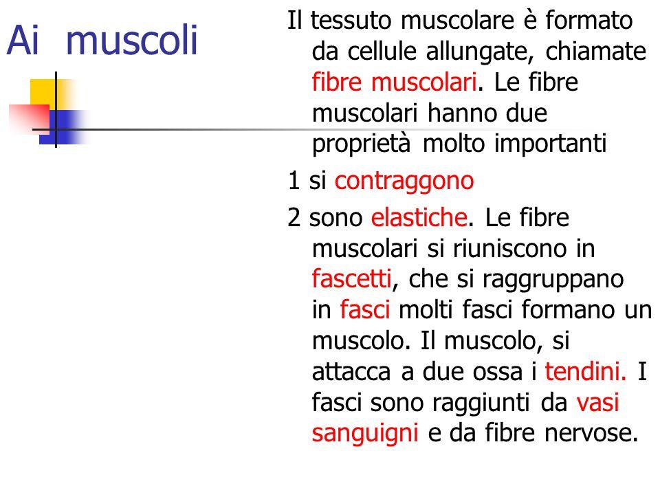 Ai muscoli Il tessuto muscolare è formato da cellule allungate, chiamate fibre muscolari. Le fibre muscolari hanno due proprietà molto importanti 1 si