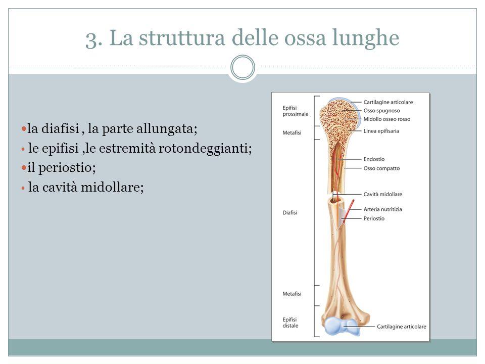 3. La struttura delle ossa lunghe la diafisi, la parte allungata; le epifisi,le estremità rotondeggianti; il periostio; la cavità midollare;