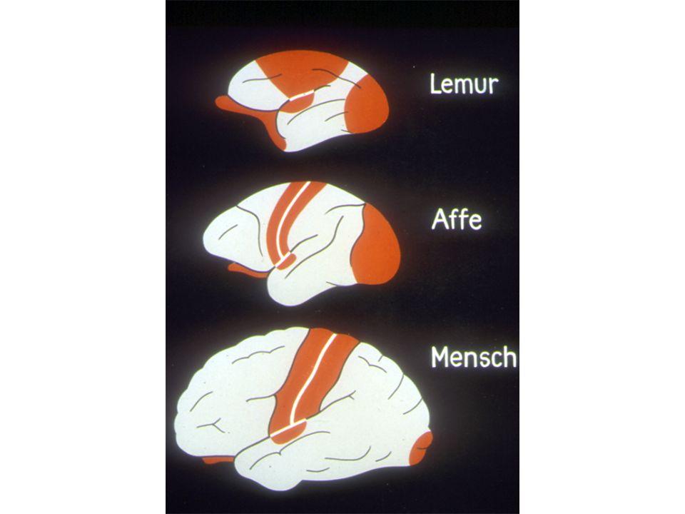 Nella corteccia somatosensoriale e somatomotoria umana osserviamo una rappresentazione estesa della mano e delle singole dita