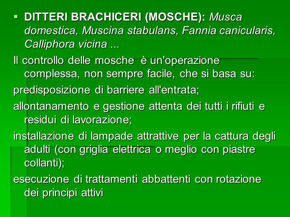 DITTERI BRACHICERI (MOSCHE): Musca domestica, Muscina stabulans, Fannia canicularis, Calliphora vicina... DITTERI BRACHICERI (MOSCHE): Musca domestica
