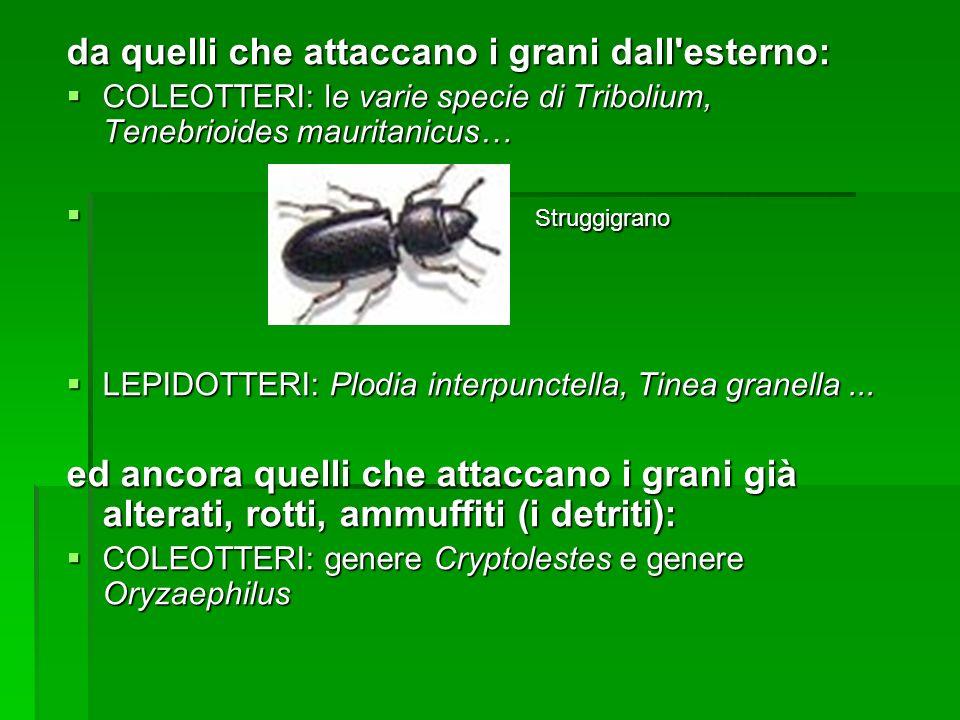 da quelli che attaccano i grani dall'esterno: COLEOTTERI: le varie specie di Tribolium, Tenebrioides mauritanicus… COLEOTTERI: le varie specie di Trib