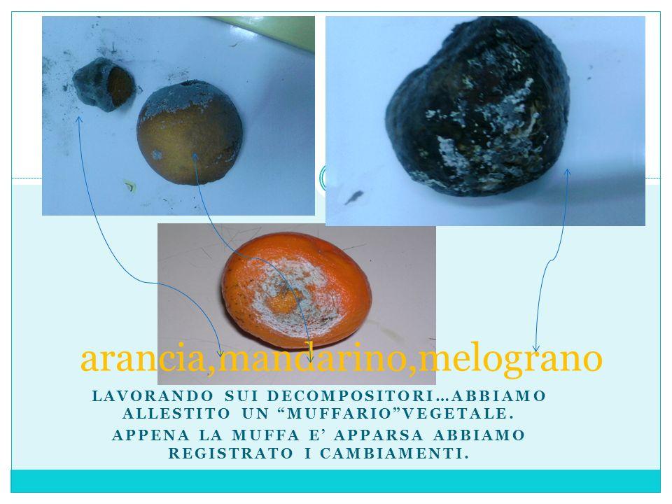 arancia,mandarino,melograno LAVORANDO SUI DECOMPOSITORI…ABBIAMO ALLESTITO UN MUFFARIOVEGETALE. APPENA LA MUFFA E APPARSA ABBIAMO REGISTRATO I CAMBIAME