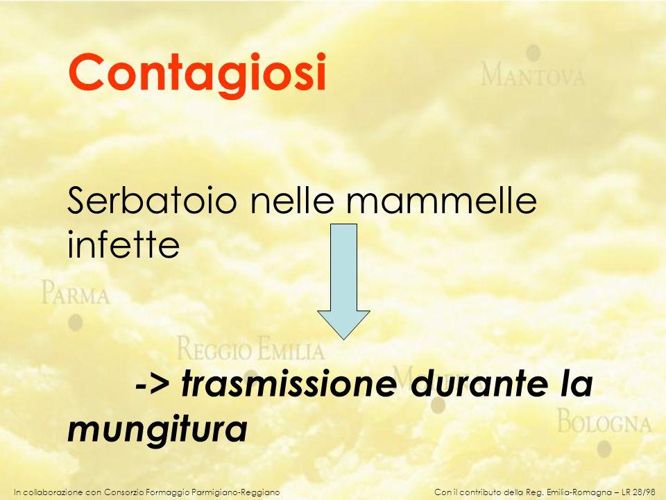 In collaborazione con Consorzio Formaggio Parmigiano-Reggiano Serbatoio nelle mammelle infette -> trasmissione durante la mungitura Contagiosi Con il