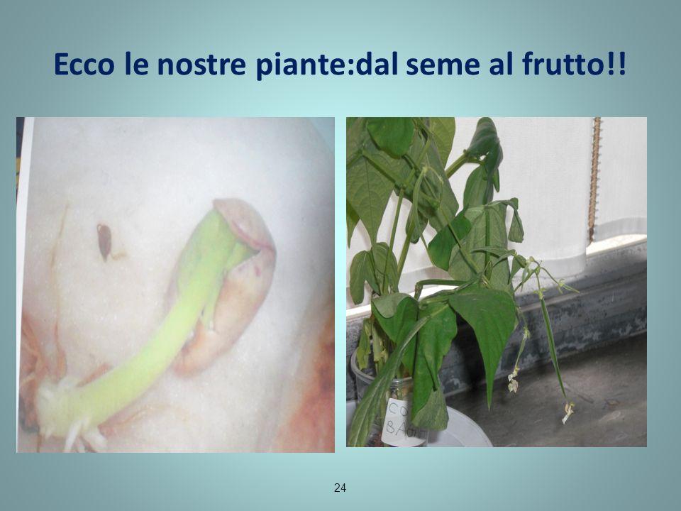 Ecco le nostre piante:dal seme al frutto!! 24