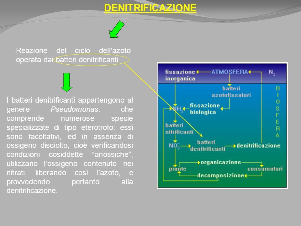 DENITRIFICAZIONE I batteri denitrificanti appartengono al genere Pseudomonas, che comprende numerose specie specializzate di tipo eterotrofo: essi sono facoltativi, ed in assenza di ossigeno disciolto, cioè verificandosi condizioni cosiddette anossiche, utilizzano lossigeno contenuto nei nitrati, liberando così lazoto, e provvedendo pertanto alla denitrificazione.