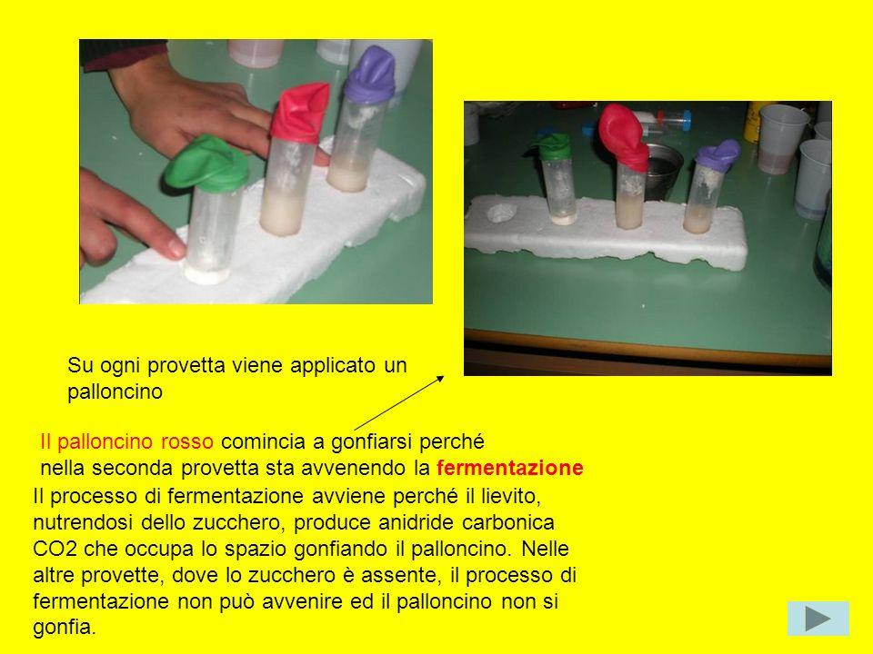 Su ogni provetta viene applicato un palloncino Il palloncino rosso comincia a gonfiarsi perché nella seconda provetta sta avvenendo la fermentazione I