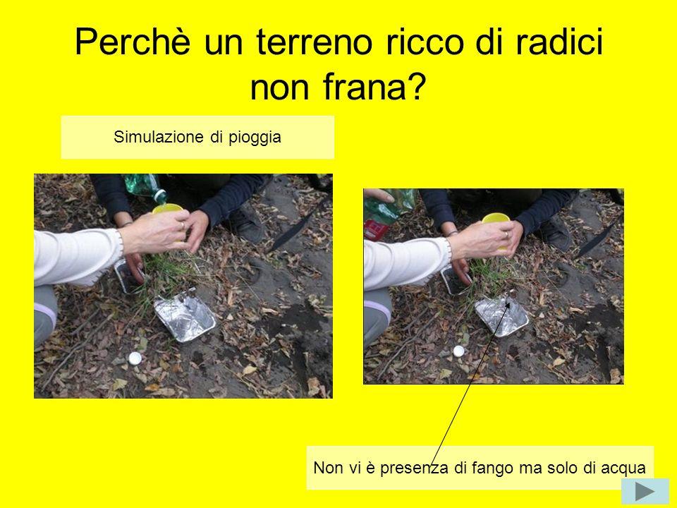 Perchè un terreno ricco di radici non frana? Simulazione di pioggia Non vi è presenza di fango ma solo di acqua