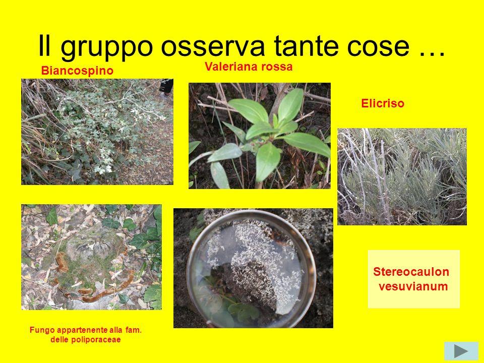 Il gruppo osserva tante cose … Biancospino Valeriana rossa Fungo appartenente alla fam. delle poliporaceae Elicriso Stereocaulon vesuvianum
