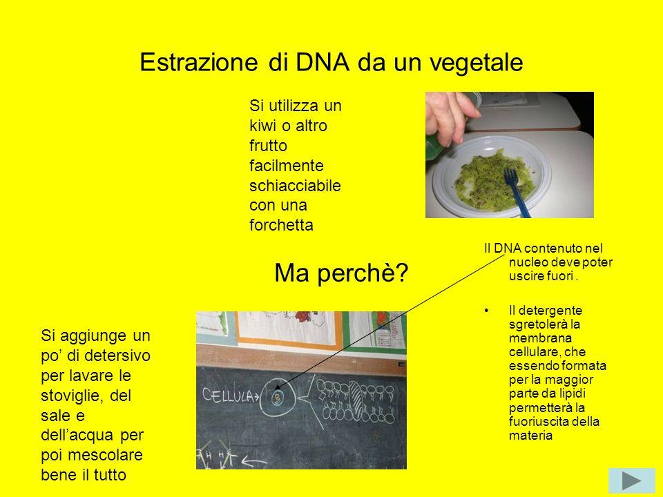 Estrazione di DNA da un vegetale Si utilizza un kiwi o altro frutto facilmente schiacciabile con una forchetta Si aggiunge un po di detersivo per lava
