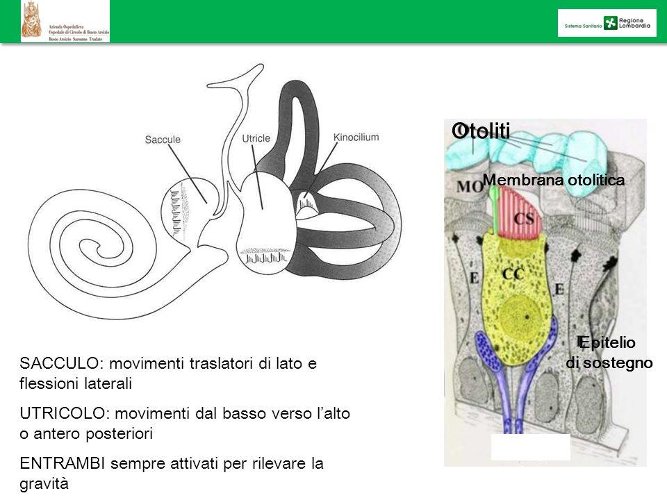 GLI ORGANI OTOLITICI (sacculo e utricolo) Epitelio di sostegno Otoliti Membrana otolitica porzione di macula SACCULO: movimenti traslatori di lato e f