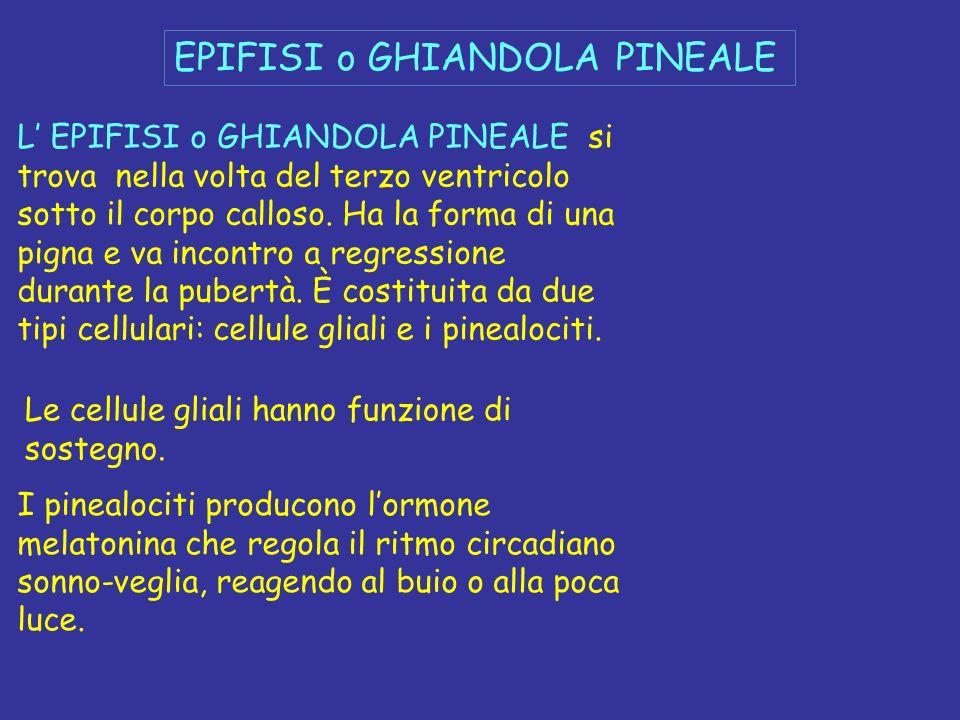 EPIFISI o GHIANDOLA PINEALE L EPIFISI o GHIANDOLA PINEALE si trova nella volta del terzo ventricolo sotto il corpo calloso. Ha la forma di una pigna e
