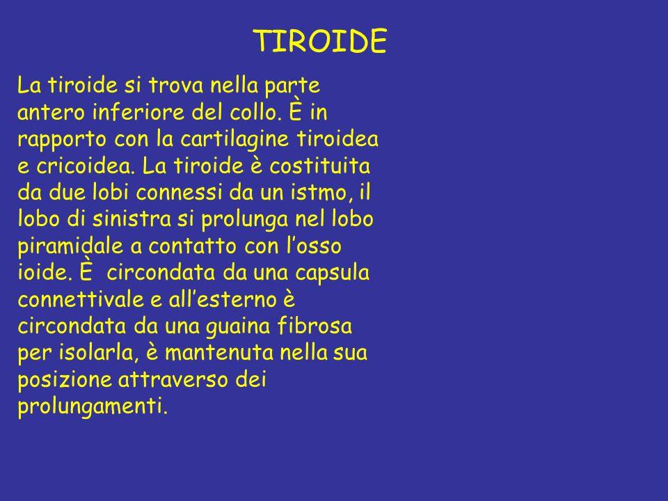 TIROIDE La tiroide si trova nella parte antero inferiore del collo. È in rapporto con la cartilagine tiroidea e cricoidea. La tiroide è costituita da
