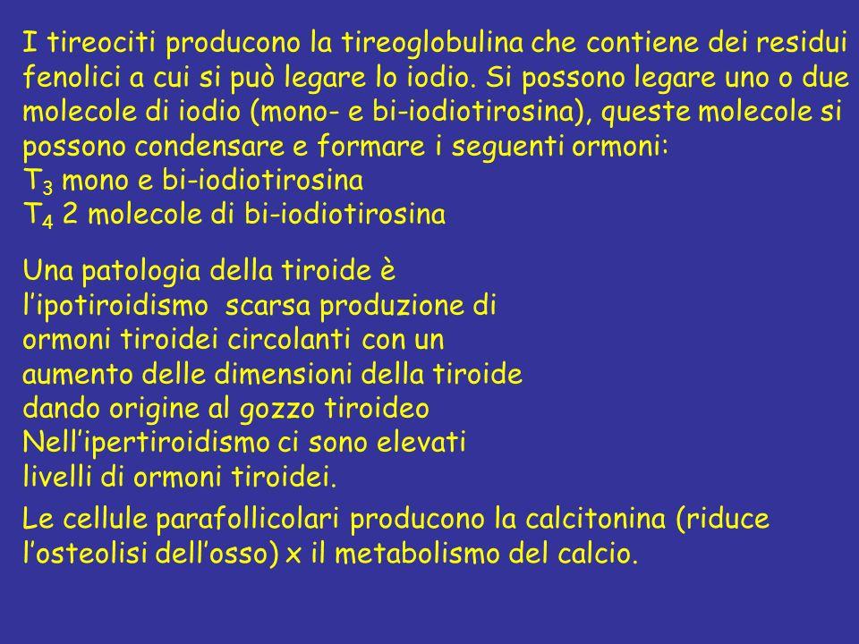 I tireociti producono la tireoglobulina che contiene dei residui fenolici a cui si può legare lo iodio. Si possono legare uno o due molecole di iodio