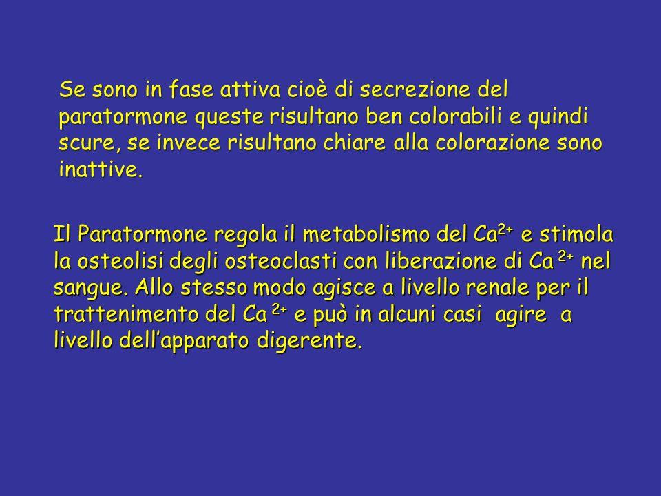 Il Paratormone regola il metabolismo del Ca 2+ e stimola la osteolisi degli osteoclasti con liberazione di Ca 2+ nel sangue. Allo stesso modo agisce a