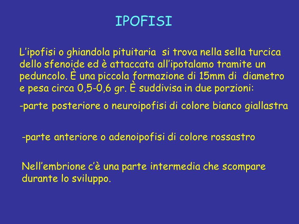 IPOFISI Lipofisi o ghiandola pituitaria si trova nella sella turcica dello sfenoide ed è attaccata allipotalamo tramite un peduncolo. È una piccola fo