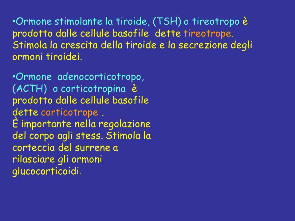 Ormone stimolante la tiroide, (TSH) o tireotropo è prodotto dalle cellule basofile dette tireotrope. Stimola la crescita della tiroide e la secrezione