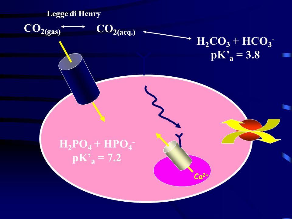 Ca 2+ H 2 PO 4 + HPO 4 - pK a = 7.2 H 2 CO 3 + HCO 3 - pK a = 3.8 CO 2(acq.) CO 2(gas) Legge di Henry
