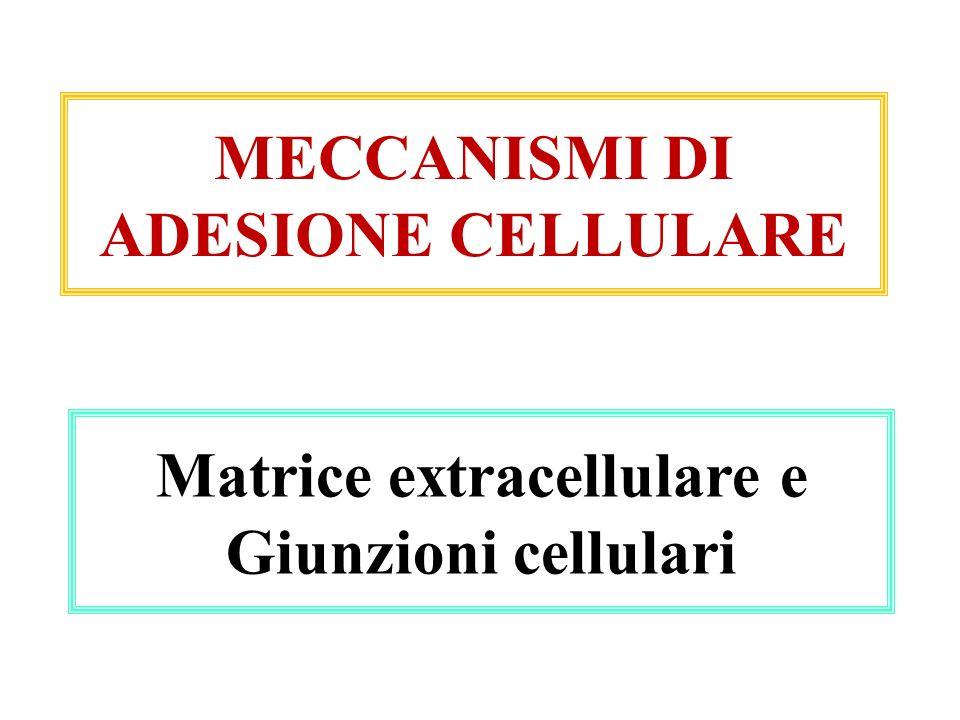 Matrice extracellulare e Giunzioni cellulari MECCANISMI DI ADESIONE CELLULARE