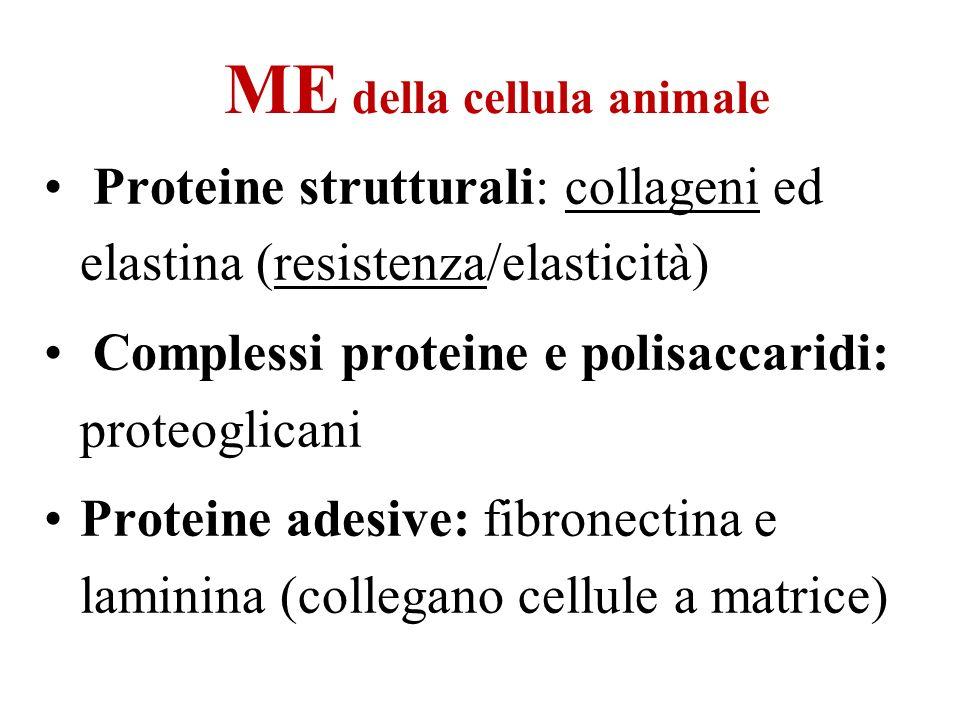 ME della cellula animale Proteine strutturali: collageni ed elastina (resistenza/elasticità) Complessi proteine e polisaccaridi: proteoglicani Protein