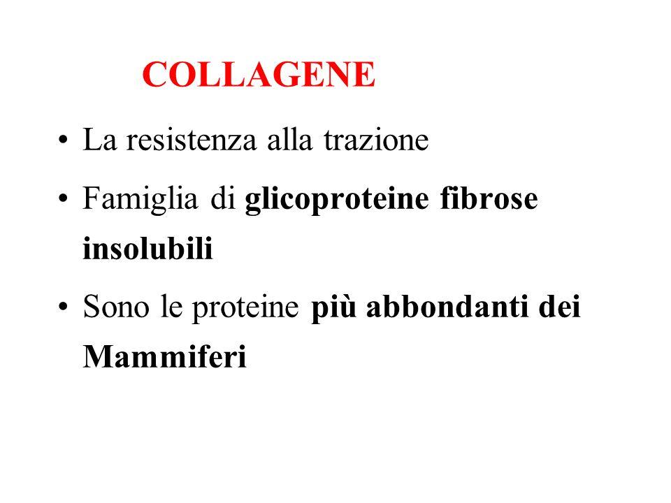 La resistenza alla trazione Famiglia di glicoproteine fibrose insolubili Sono le proteine più abbondanti dei Mammiferi COLLAGENE